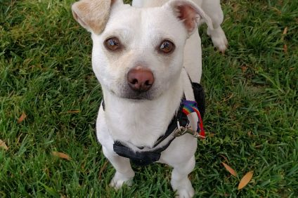 Pet of the Week: Flannel. Photo: Courtesy of the San Clemente/Dana Point Animal Shelter
