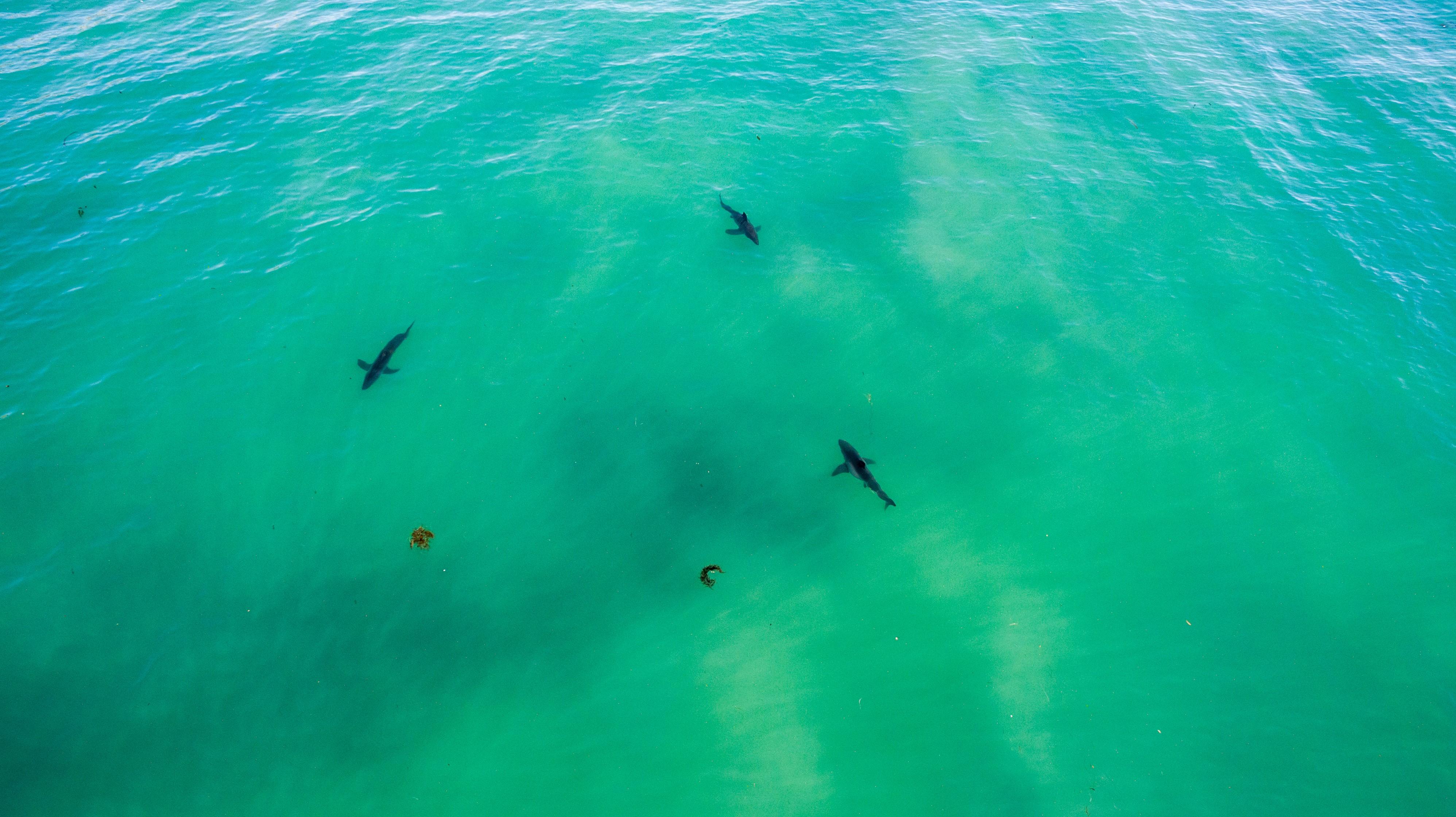 A pack of sharks was photographed in 2017 near Capistrano Beach. Photo: Courtesy of Matt Larmand