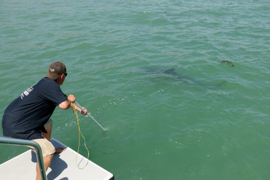 A crewmember of Dana Wharf Sportfishing tries to capture a great white shark on camera on Saturday, May 13, near Capistrano Beach. Photo: Eric Heinz