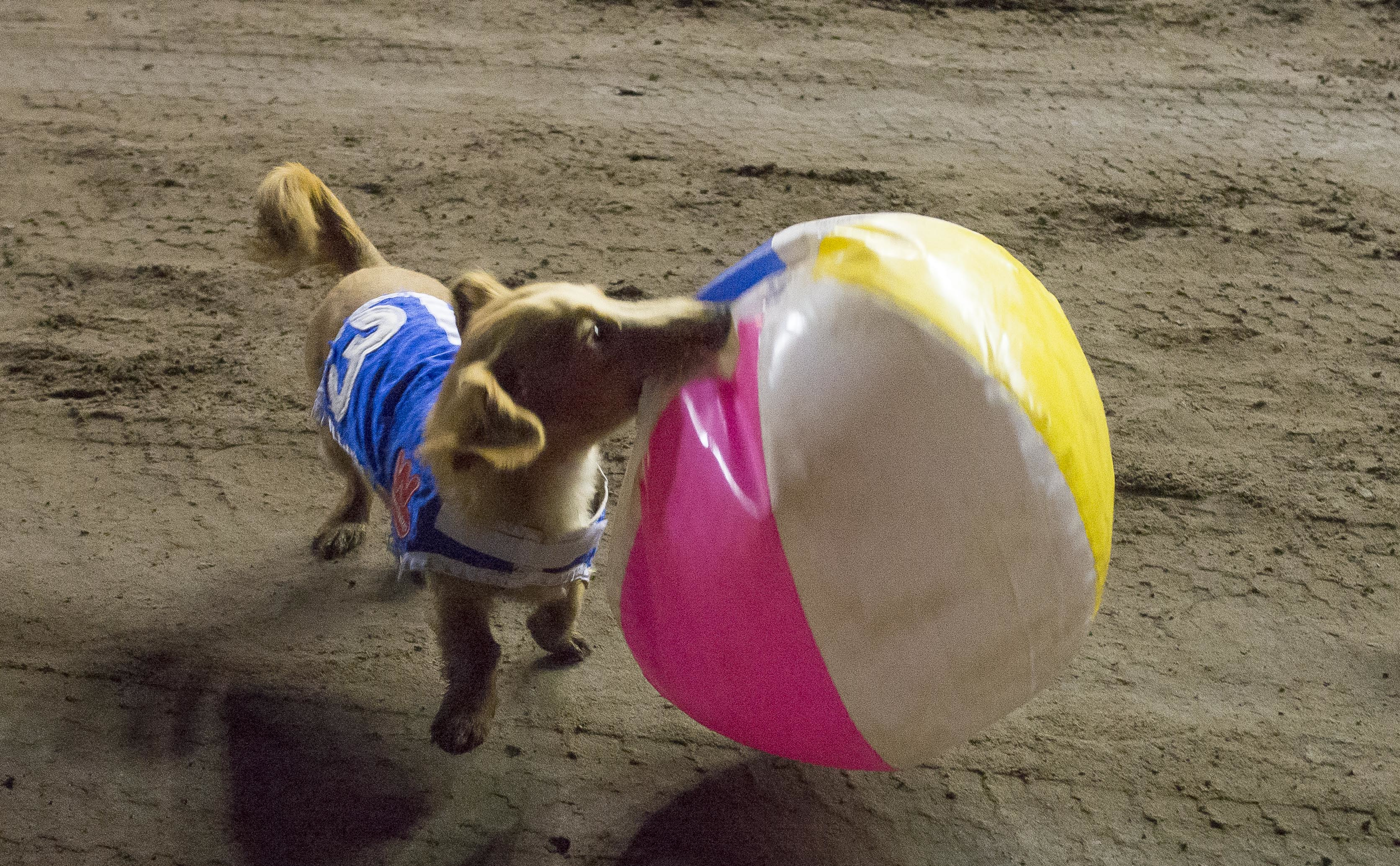 Finn chomps on his beach ball following his win in the 2015 Wienerschnitzel Wiener Nationals at Los Alamitos Race Course. The ball motivates Finn to chase towards the finish line. Photo: Courtesy