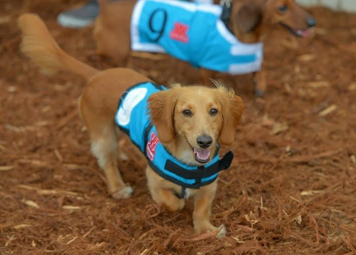 Finn, the racing wiener dog. Photo: Courtesy