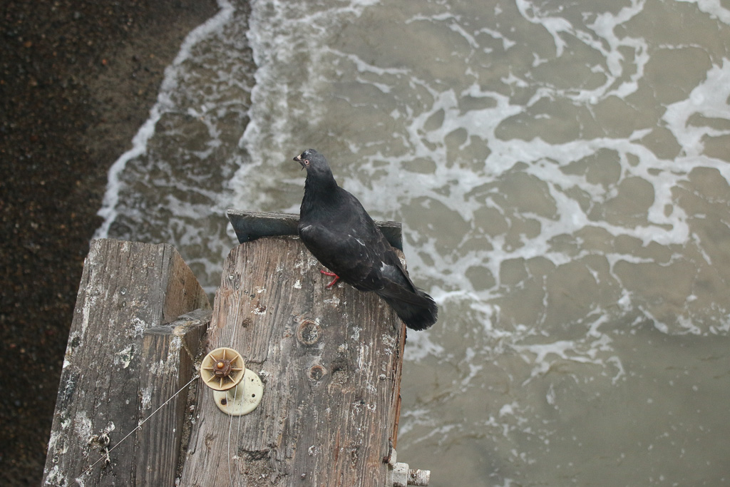 Pigeons and other birds may be the culprit in what's causing the Pier's waters to register bacterial levels unsafe to human contact. Photo: Eric Heinz
