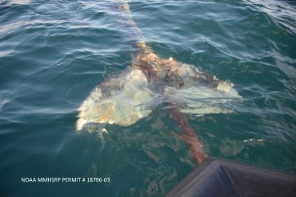 A whale's fluke is tangled in a gillnet, as photographed by PMMC. Photo: Courtesy of PMMC