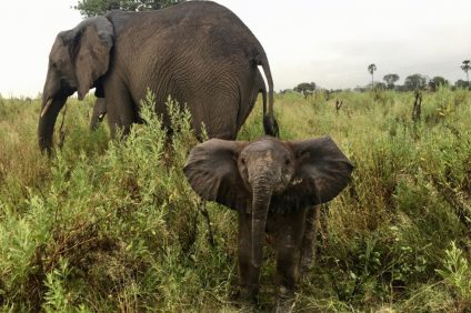 Elephants: Elephant Cooperation, a San Clemente-based nonprofit organization, will host a Casino Night on Wednesday, Aug. 28, to raise money in an effort to save and protect the endangered African elephant. Photo: Courtesy of elephantcooperation.com
